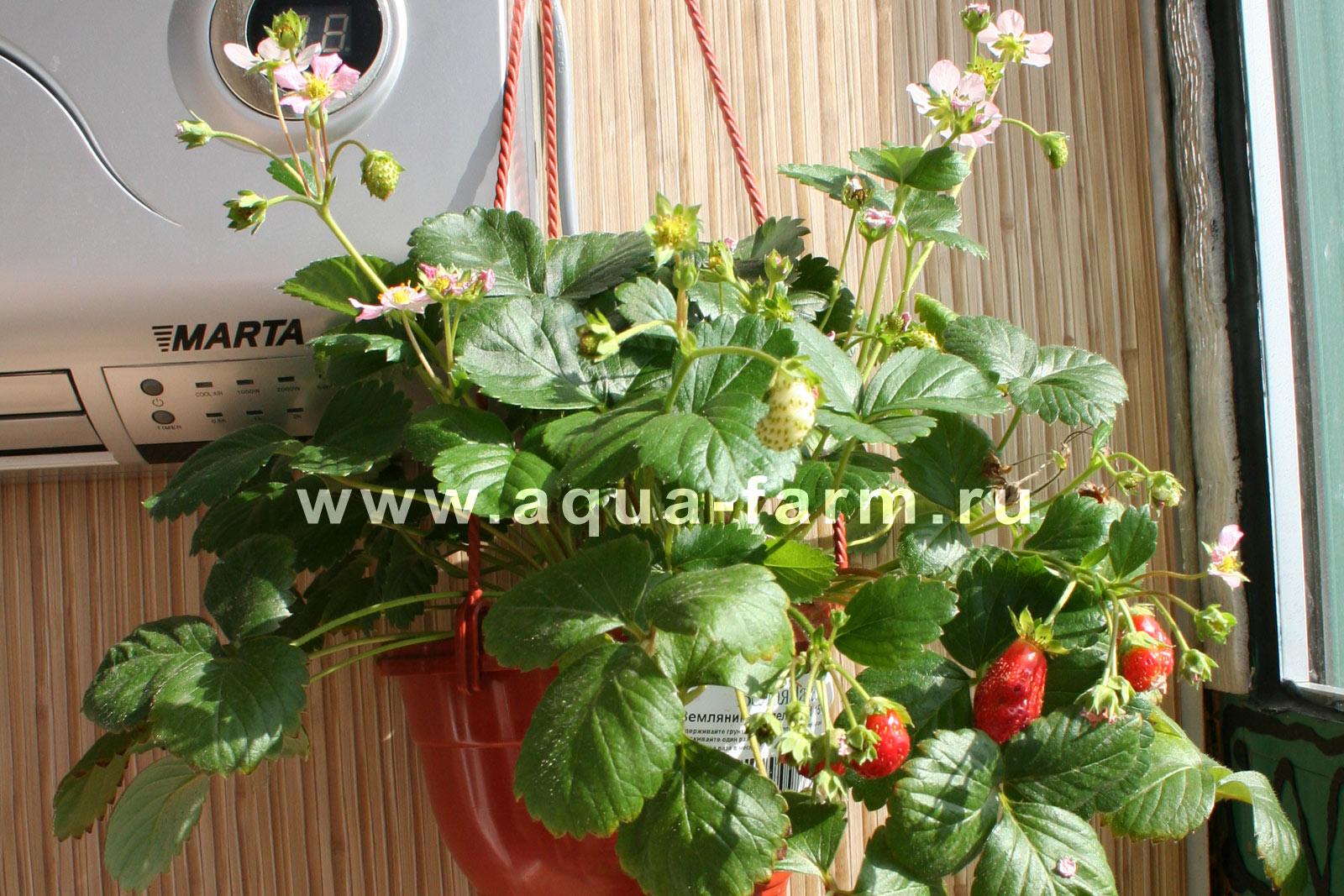 Выращивание земляники на балконе 4