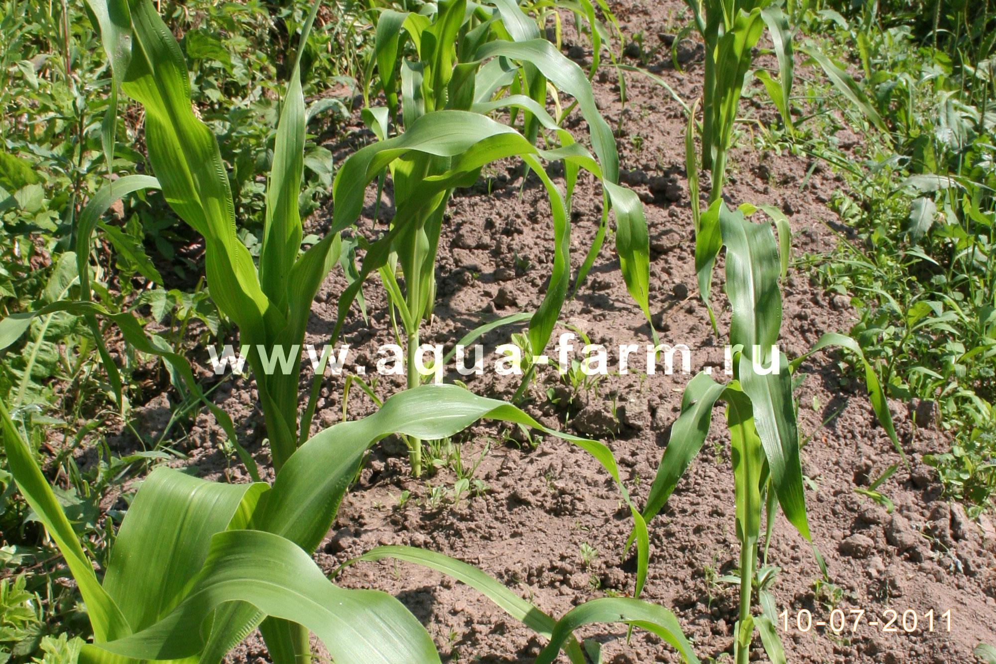 Рассада кукурузы в домашних условиях 39