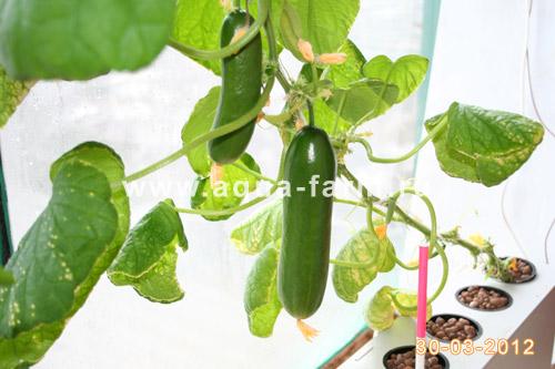 огурцы растущие на балконе начали плодоношение