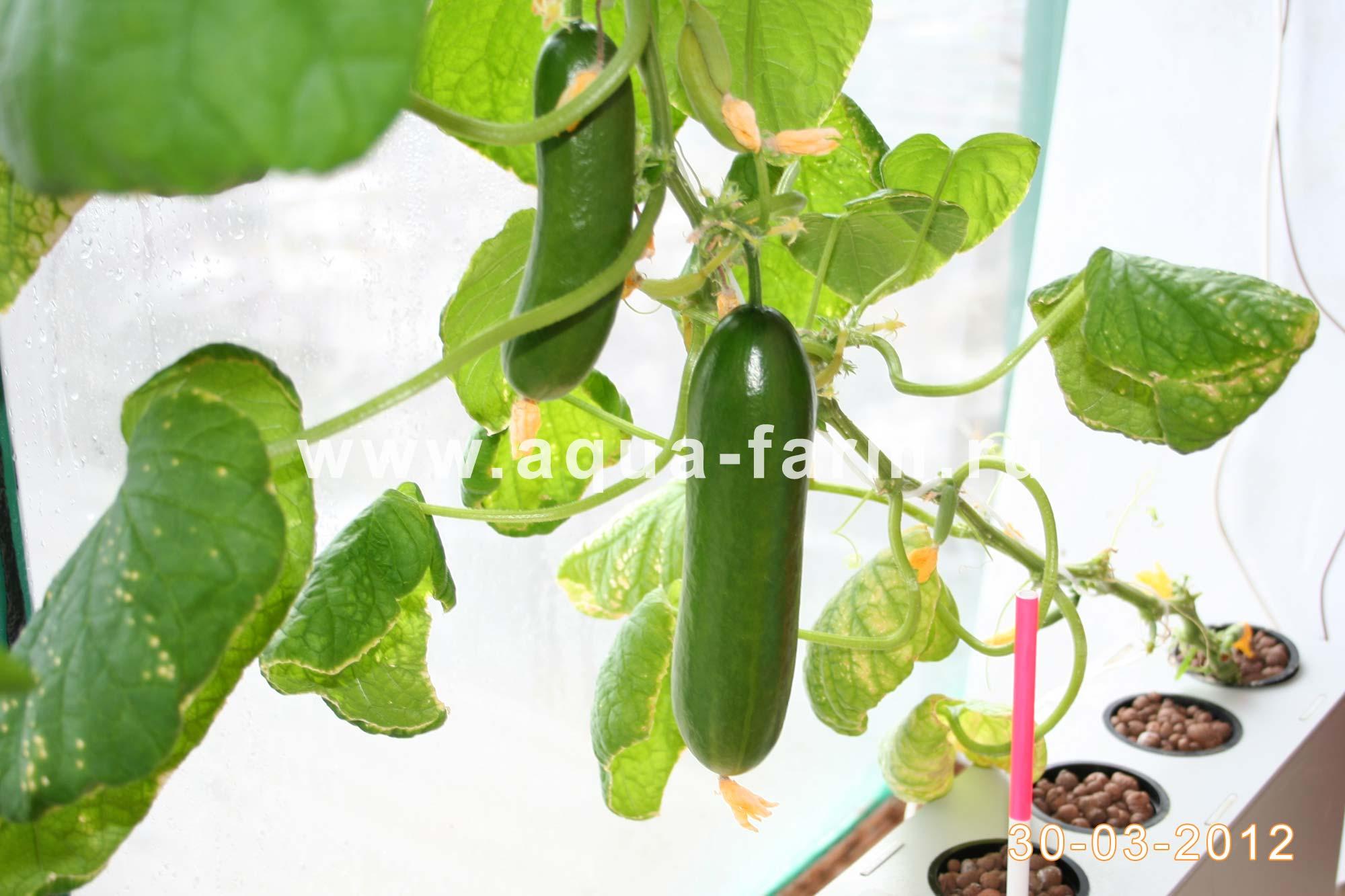 Огурец, растущий на балконе начал плодоносить.  Сегодня будет первая дегустация весеннего огурчика с гидропоники.