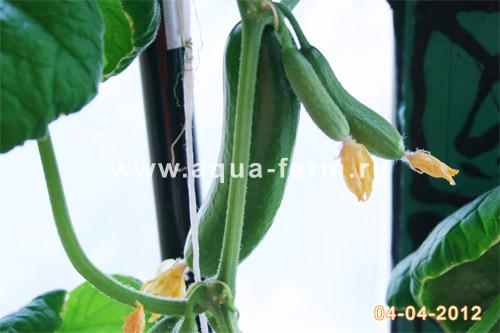 Плодоношение огурцов растущих в гидропонной установке на балконе