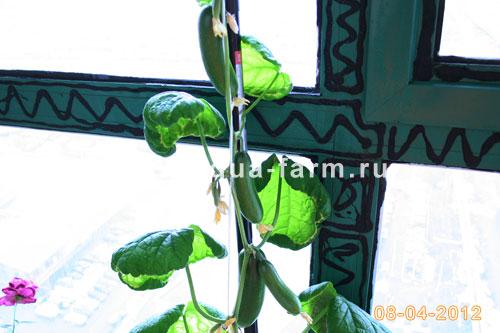 Выращивание огурцов дома на балконе