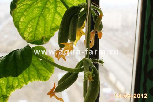 Выращиваем огурцы дома