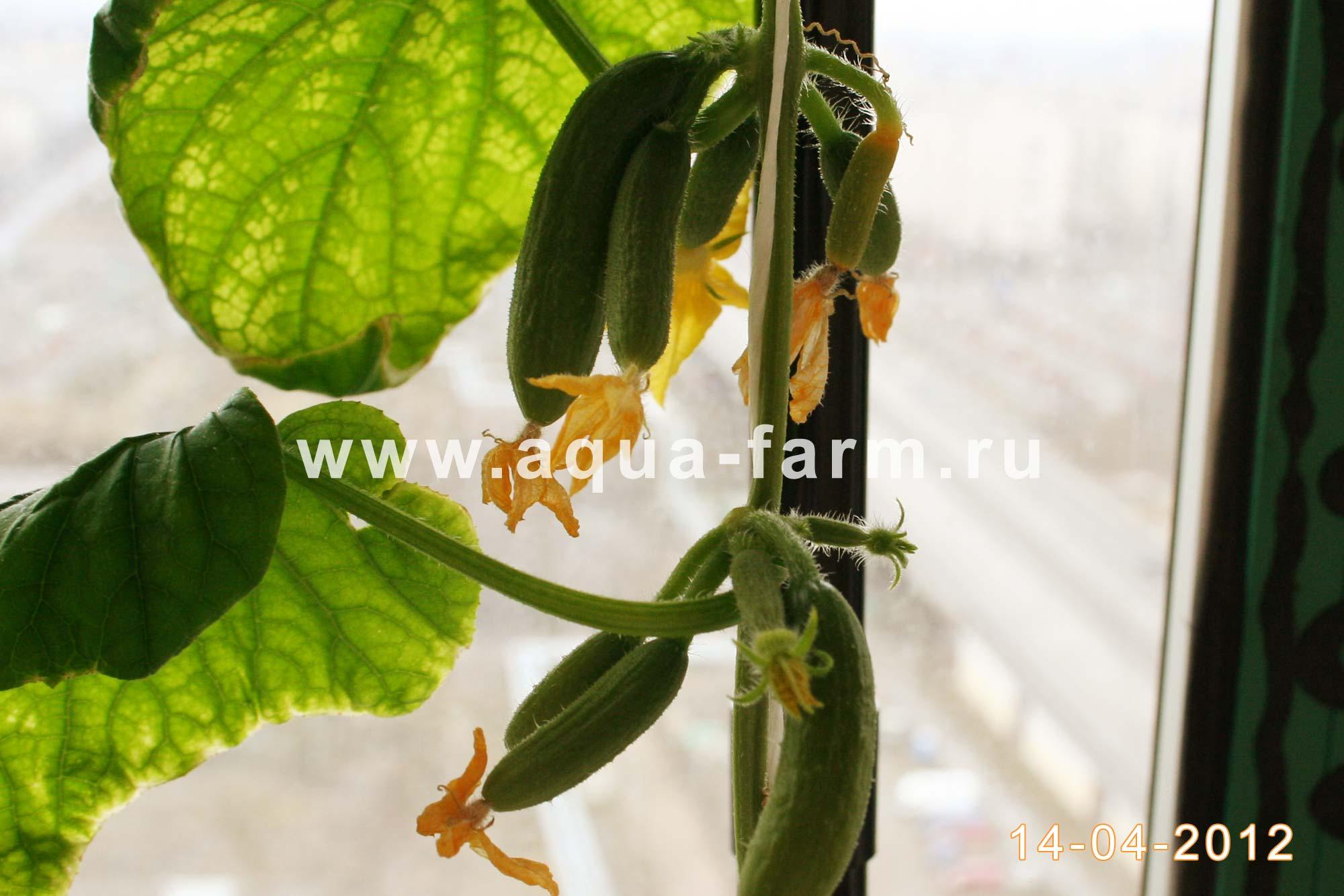 Выращивание огурцов на подоконнике зимой - подкормки, фото и 24