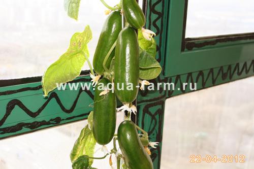 Выращивание огурцов дома на балконе в гидропонной установке