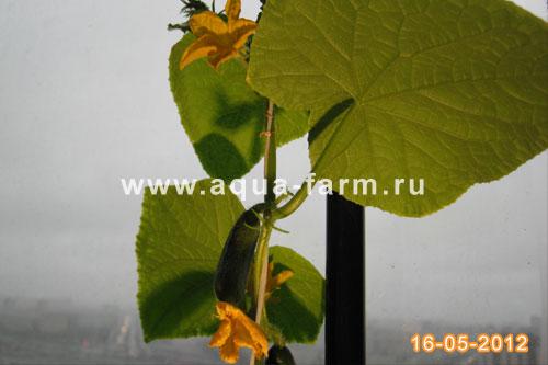 огурец растущий в гидропонной установке на балконе