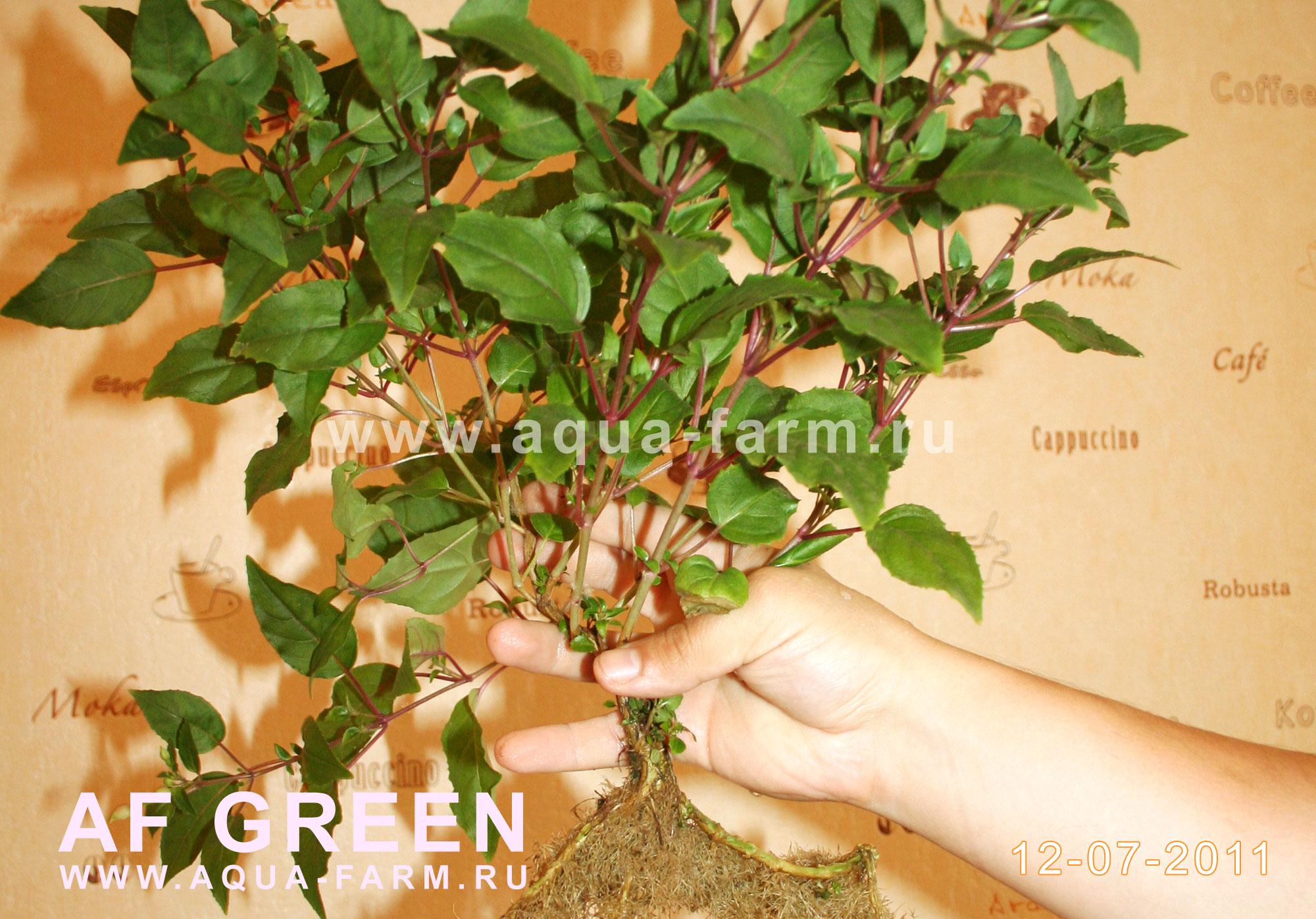 Выращивание фуксии из семян фото 21