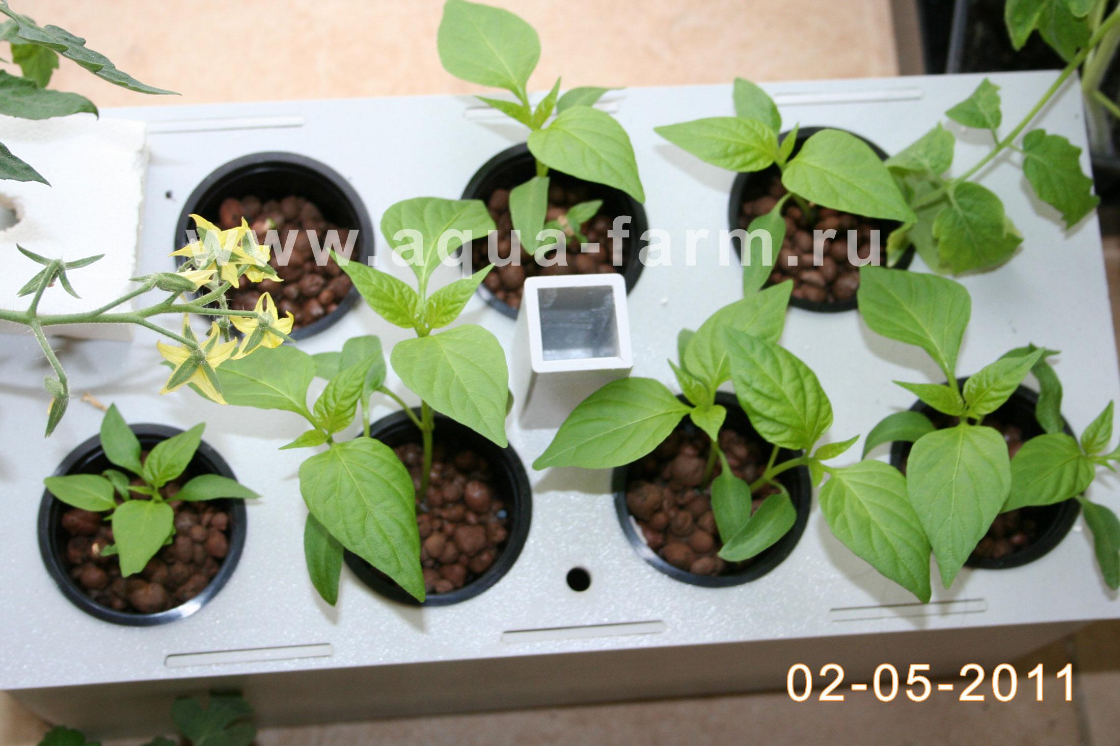 Гортензия из семян: выращивание, как посадить 27