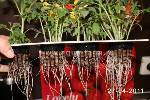 Гидропоника рассады томатов 1