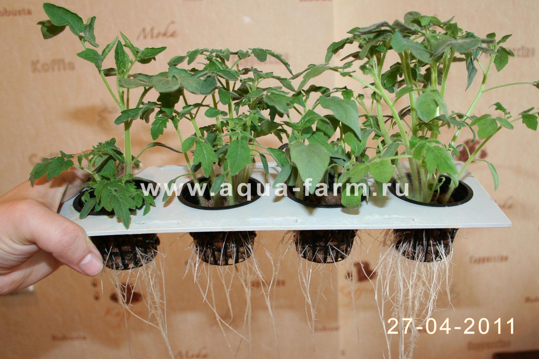Рассада помидор в домашних условиях 85