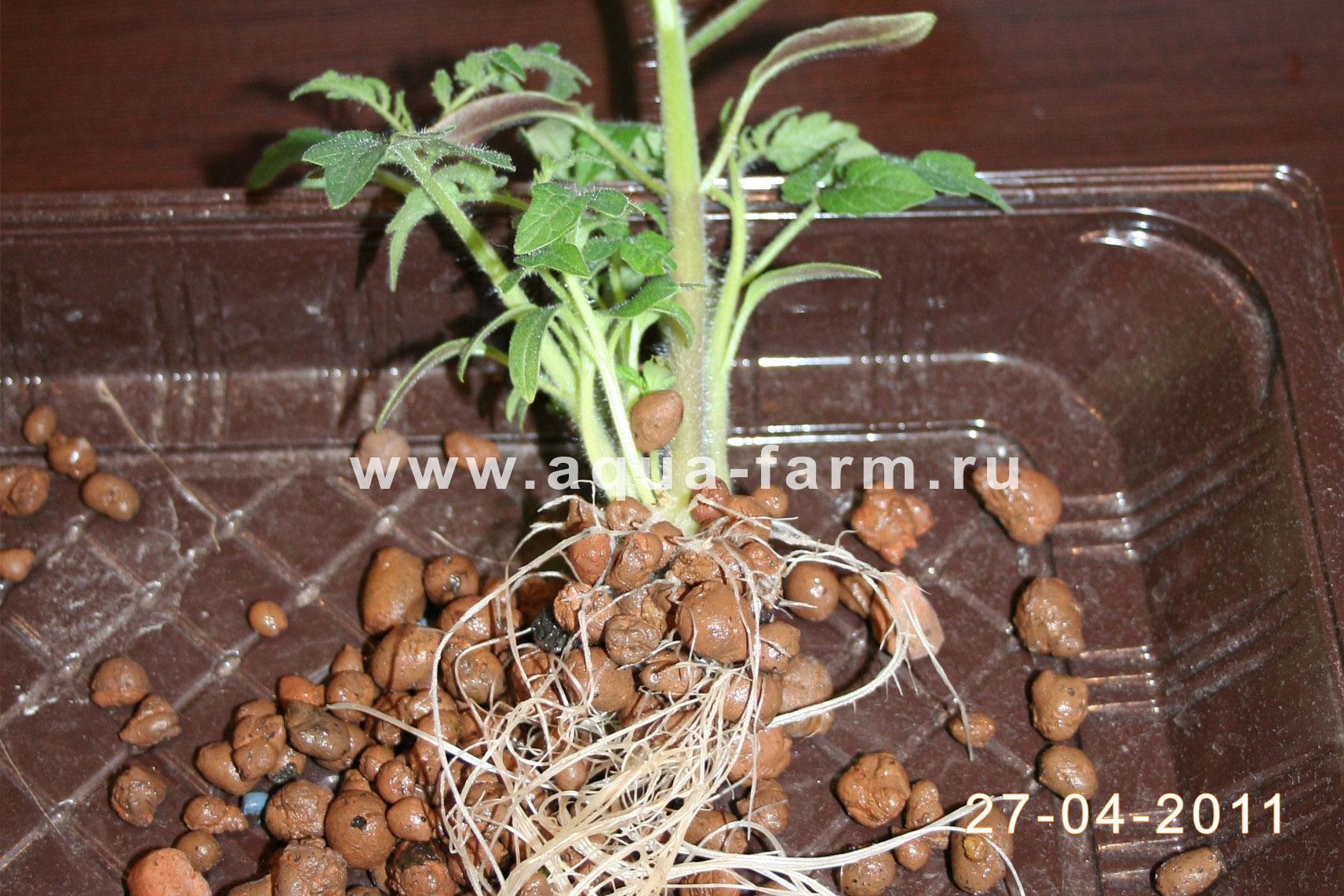Пикировка рассады помидор в домашних условиях