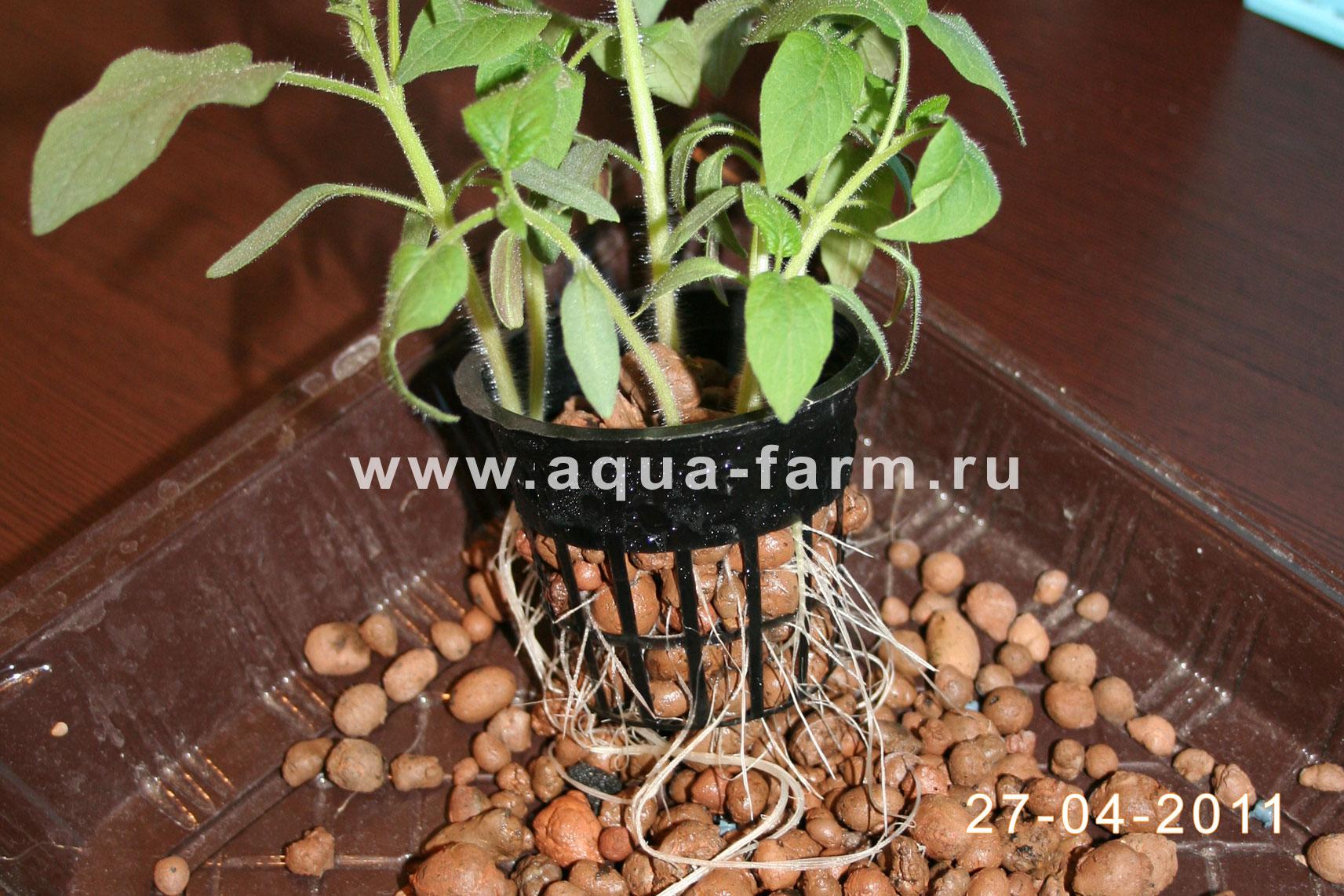 Гидропоника рассады томатов 93