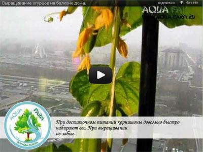огурцы на балконе. выращивание. видео